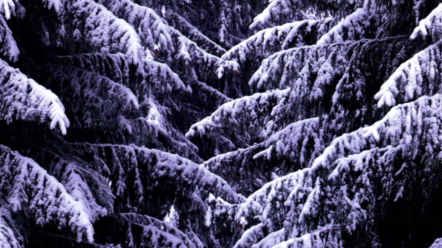 snowed fir trees - pinaceae stock videos & royalty-free footage