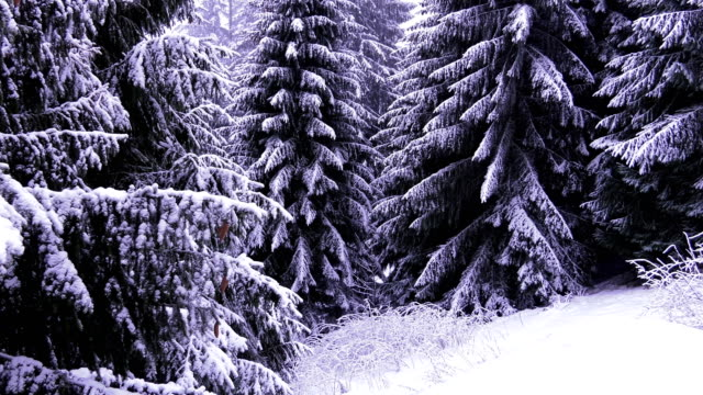 Snowed fir trees, Zoom out