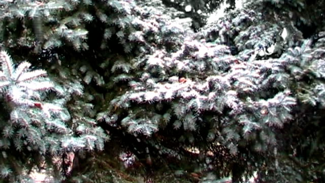 snowfall and spruce - pinaceae stock videos & royalty-free footage