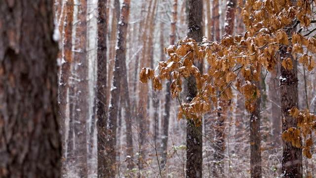 vídeos de stock e filmes b-roll de snowfall na floresta de pinho. - pine