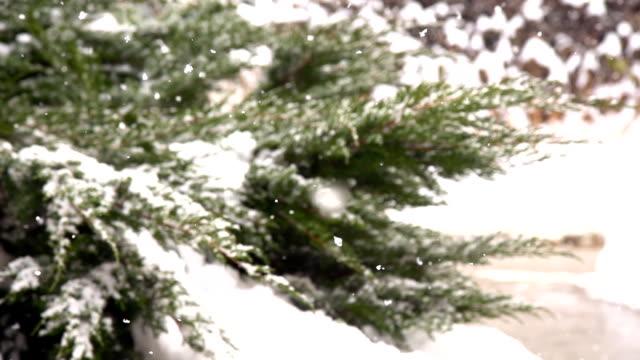 HD-SUPER LANGSAM MO: Schneeflocken auf der Cypress