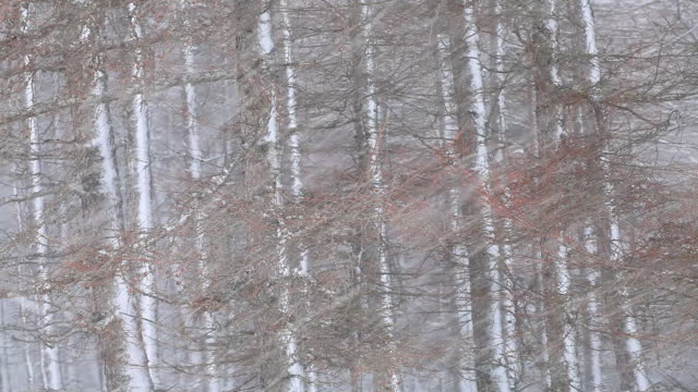 Snowing against larch trees, almost horizontal, Scotland, UK
