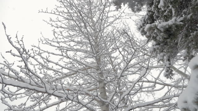 snowing at woods - pinaceae stock videos & royalty-free footage