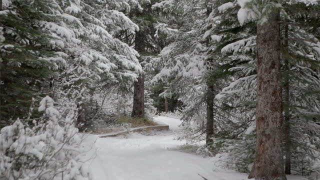 snowing in green pine woods - non urban scene stock videos & royalty-free footage