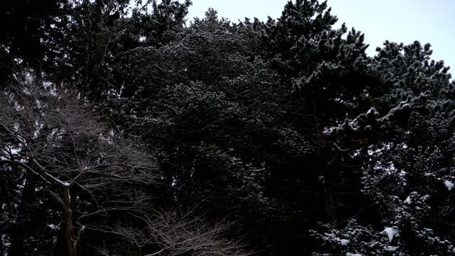 vídeos de stock e filmes b-roll de snowing on pine tree in maruyama park, sapporo, hokkaido - pine