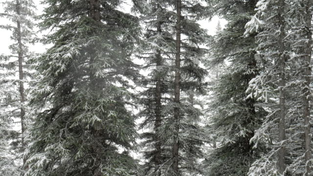 Snowing on the pine forest in winter time