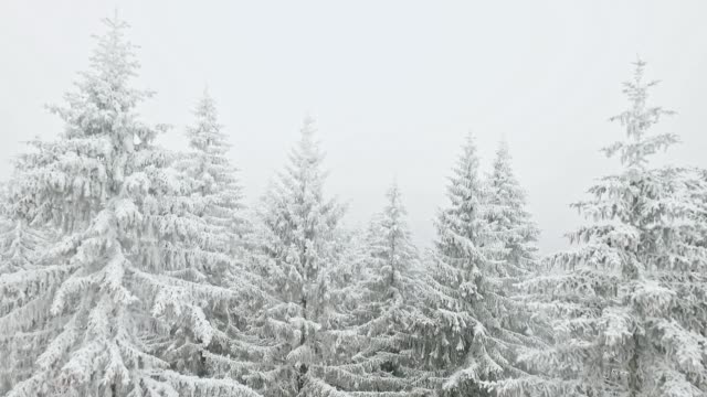 snowing over the winter forest - pine stock videos & royalty-free footage
