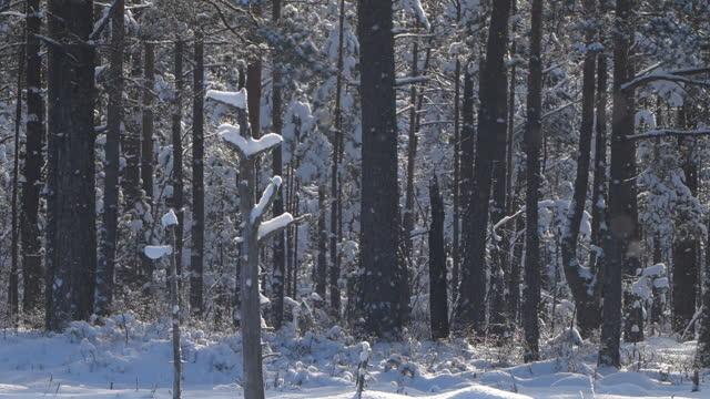 snowing - winter landscapae - frozen forest in snowing, belarus - named wilderness area stock videos & royalty-free footage