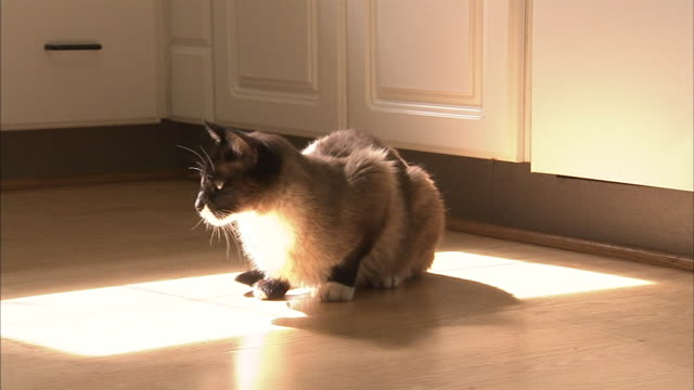 a snowshoe cat flicks its tail while resting in a sunbeam. - tail stock videos & royalty-free footage