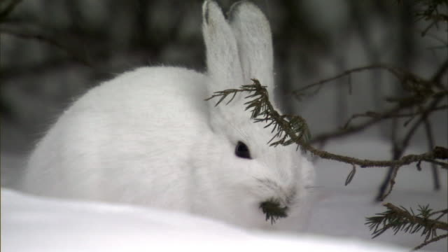 snowshoe hare (lepus americanus) feeds in snowy forest, yellowstone, usa - coniferous tree stock videos and b-roll footage
