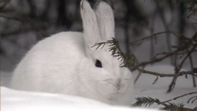snowshoe hare (lepus americanus) feeds in snowy forest, yellowstone, usa - survival stock videos & royalty-free footage