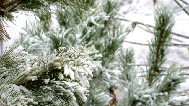 snowy day pine tree close up shot - frost stock videos & royalty-free footage