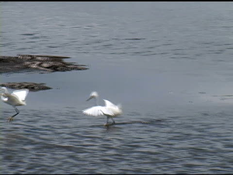 snowy egret defending his territory - small group of animals stock videos & royalty-free footage
