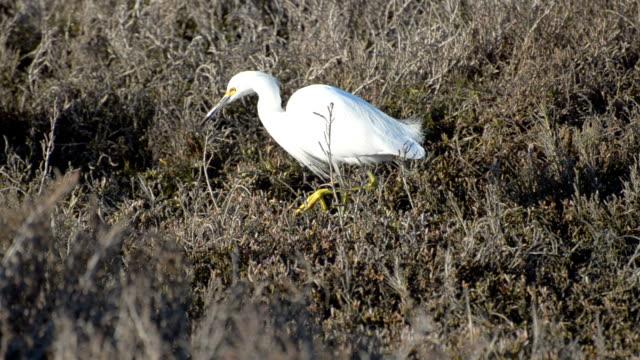 vídeos y material grabado en eventos de stock de garceta nívea egretta thula - marisma