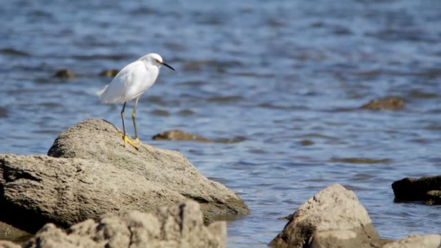 snowy egret (egretta thula) in puertito del buceo, montevideo, uruguay, 2015 - snowy egret stock videos and b-roll footage