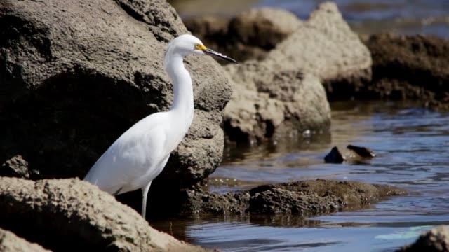 snowy egret (egretta thula) in puertito del buceo, montevideo, uruguay, 2015 - uruguay stock videos & royalty-free footage