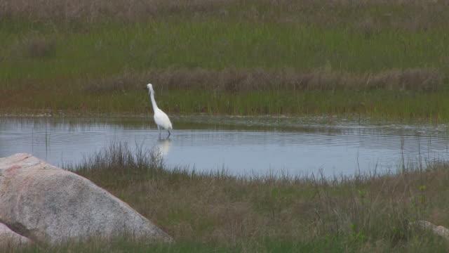 snowy egret in the swamp 10 - hd 30f - djurmun bildbanksvideor och videomaterial från bakom kulisserna