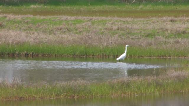 stockvideo's en b-roll-footage met snowy egret in the swamp 6 - hd 30f - dierlijke mond