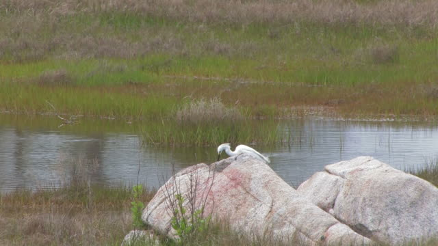 snowy egret in the swamp 9 - hd 30f - named wilderness area stock videos & royalty-free footage
