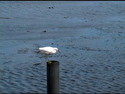 stockvideo's en b-roll-footage met snowy egret on post - water bird