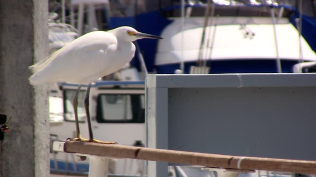 snowy egret relaxing on boat - snowy egret stock videos and b-roll footage