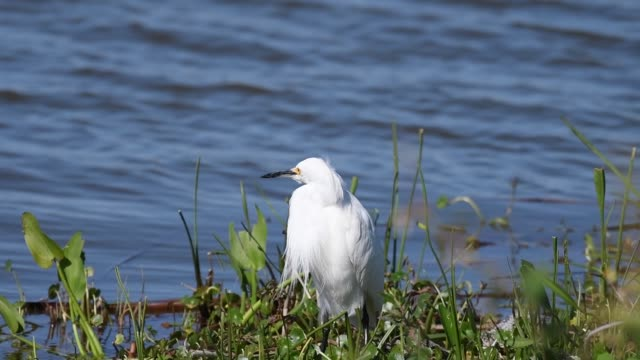 snowy egret - snowy egret stock videos and b-roll footage