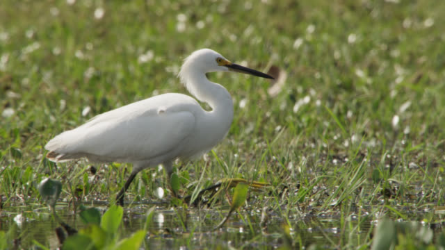 snowy egret (egretta thula) wades through wetland and catches small fish. - snowy egret stock videos and b-roll footage