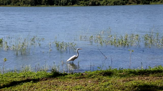 snowy egret wading along lakeshore. - snowy egret stock videos and b-roll footage