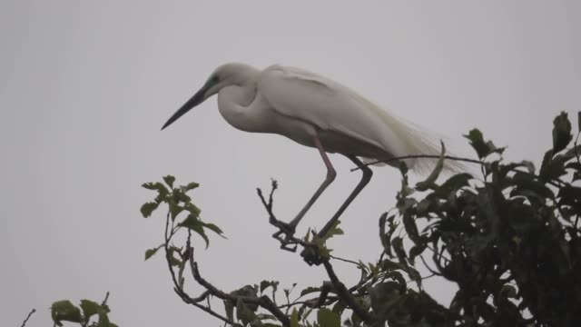 snowy heron are seen at their nests around agriculture village located in yecheon county of gyeongbuk province south korea on may 17 2019 - animal attribute stock videos and b-roll footage