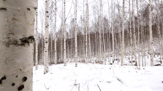 stockvideo's en b-roll-footage met snowy landscape of birch forest in winter - berk