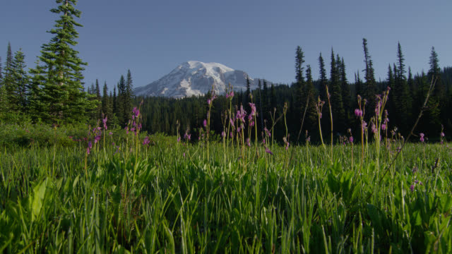 wide shot snowy mount rainier and pine forest with pink wildflowers in foreground - mt rainier national park stock videos & royalty-free footage