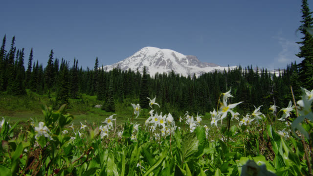 wide shot snowy mount rainier and pine forest with white glacier lilies blowing in breeze in foreground - mt rainier national park stock videos & royalty-free footage