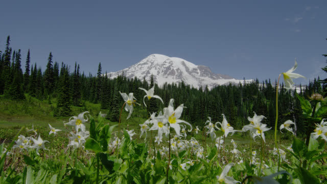 wide shot snowy mount rainier and pine forest with white glacier lilies blowing in breeze in foreground - wildflower stock videos & royalty-free footage