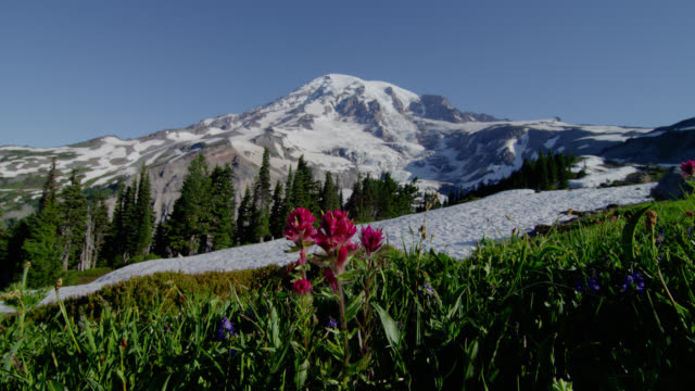 wide shot snowy mount rainier with pink flowers in meadow in foreground - mt rainier national park stock videos & royalty-free footage