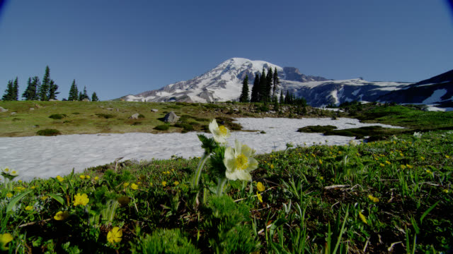wide shot snowy mount rainier with yellow flowers and snow in meadow in foreground - mt rainier national park stock videos & royalty-free footage