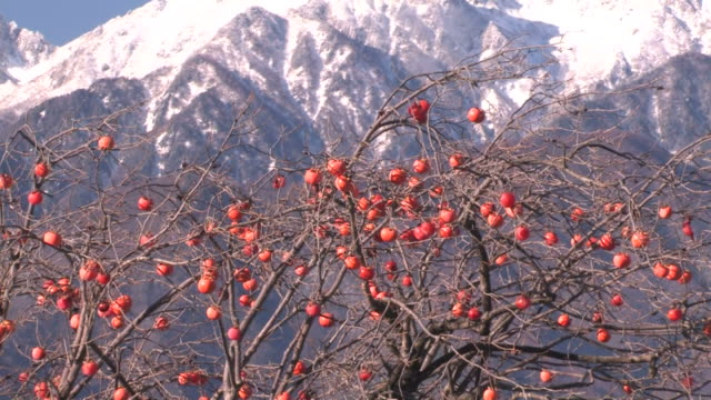 zo snowy mountains behind tree with fruit - 福岡県点の映像素材/bロール