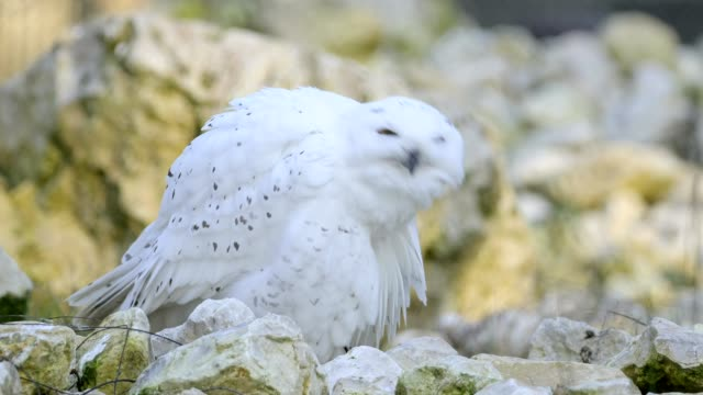 snowy owl, bubo scandiacus, cleans his feathers - snowy owl stock videos and b-roll footage