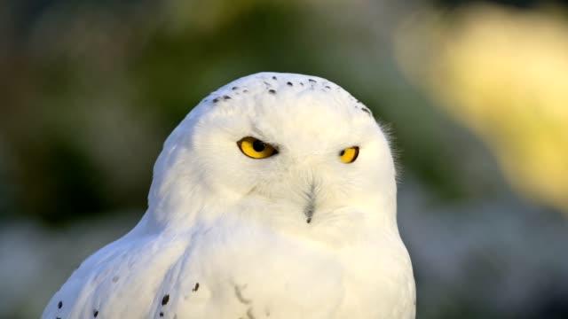 stockvideo's en b-roll-footage met snowy owl, bubo scandiacus - dierenoog