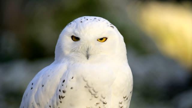 vidéos et rushes de snowy owl, bubo scandiacus - oeil d'animal