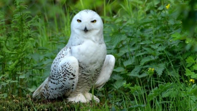snowy owl, bubo scandiacus - snowy owl stock videos and b-roll footage