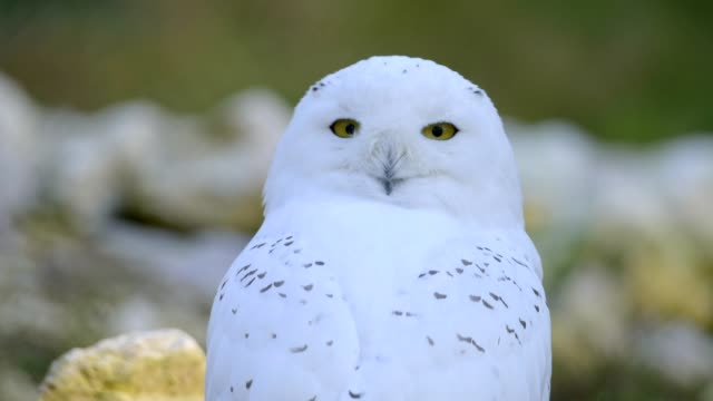 snowy owl, bubo scandiacus - becco video stock e b–roll