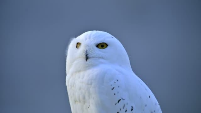 snowy owl, bubo scandiacus - one animal stock videos & royalty-free footage