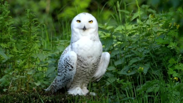 snowy owl, bubo scandiacus - owl stock videos & royalty-free footage