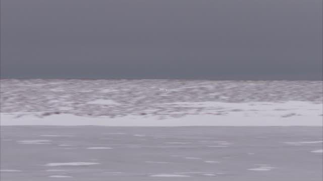 snowy owl, churchill, manitoba, canada - snowy owl stock videos and b-roll footage