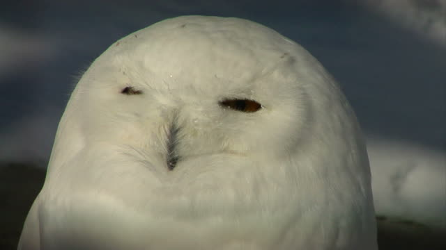 Snowy owl extreme close-up