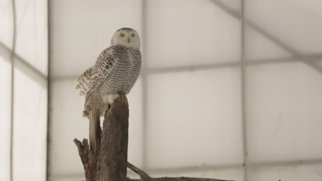 ms of snowy owl in bird shelter - 2014 stock videos & royalty-free footage