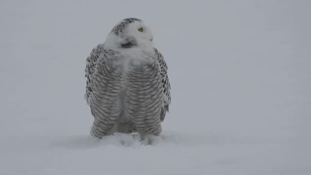 stockvideo's en b-roll-footage met snowy owl looked perfectly at home in snow-covered mcbain, michigan, on march 3. footage shot by photographer... - https