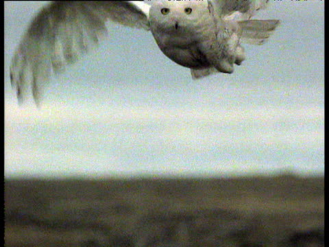 snowy owl low flies to camera and lands on nest on ground on arctic tundra - snowy owl stock videos and b-roll footage