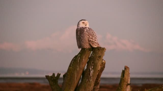 snowy owl on mountain background - snowy owl stock videos and b-roll footage