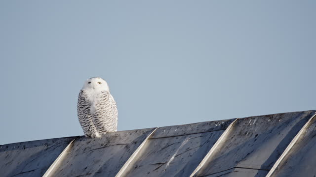 a snowy owl perched on a metallic roof looks around - french overseas territory stock videos & royalty-free footage